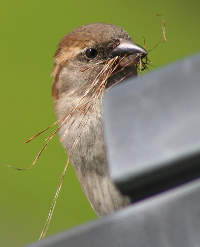 female-house-sparrow