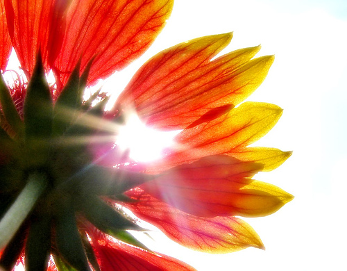 sunshine-aussiegall1