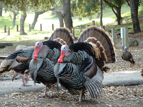turkeys-hey-paul