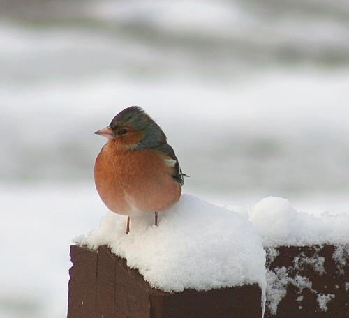 snowy-robin-foxypar4