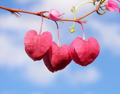 string-of-hearts-aussiegall