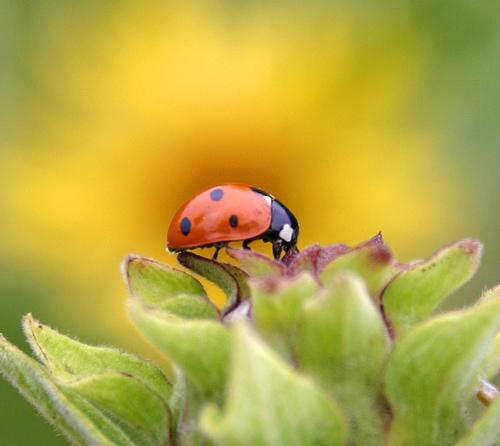 ladybug-blazing-dan-zen