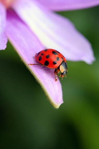 ladybug-diving-peasap