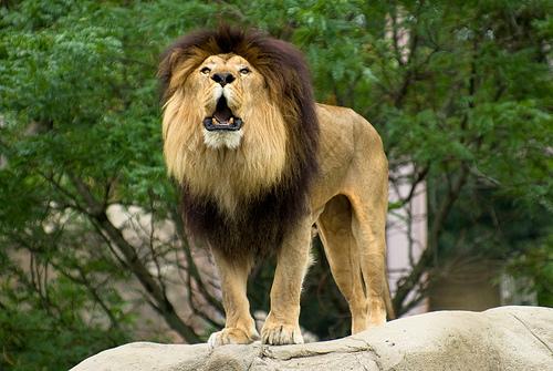 roar-corey-leopold1