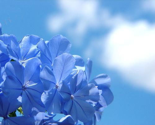 blue-2-aussiegall