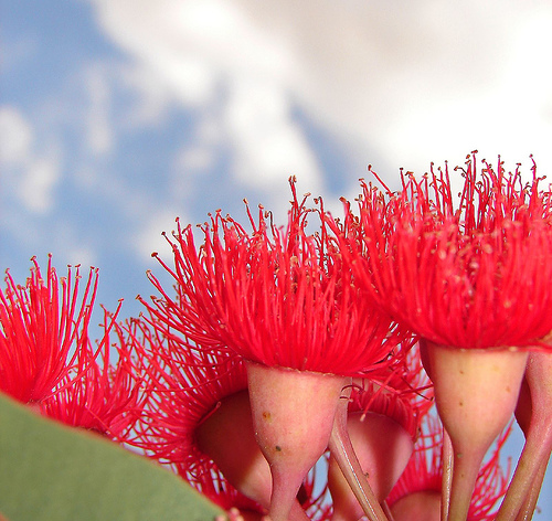 red-gum-blossoms-aussiegall
