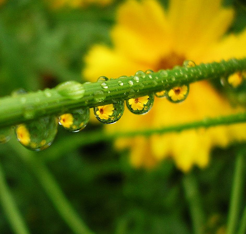 yellow-flowers-in-raindrops-tanakawho