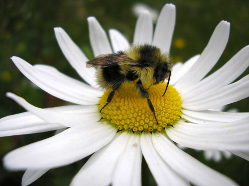 Bee on a Daisy - photogirl7