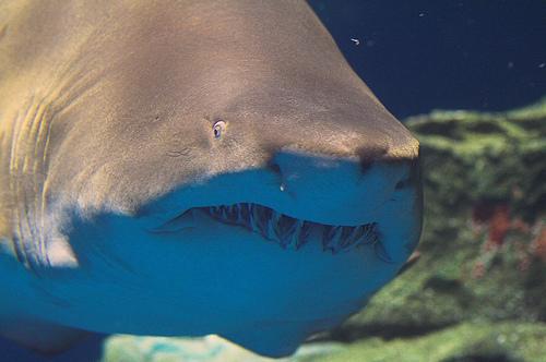Shark! - suneko