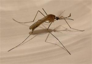 Mosquito - edans