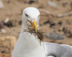 Seagull - foxypar4