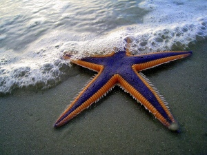 Starfish - TheMarque