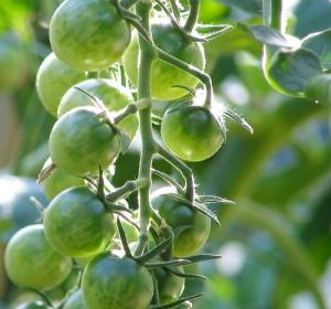 Tomatoe Vines - peterastn