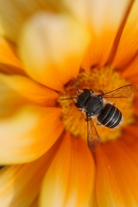 Yellow Bee - aussiegall