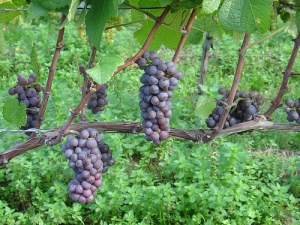 Grape Vines - ndrwfqq